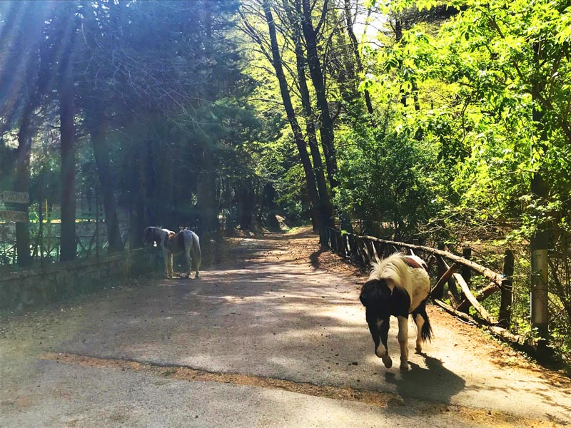 Cavalli selvaggi a Monte Faito